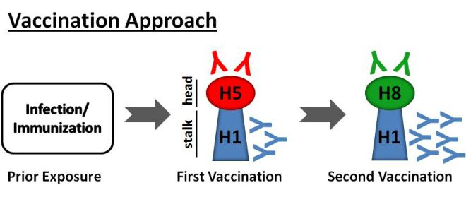 Working Towards a Universal Influenza Vaccine